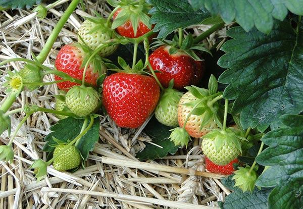 fraisier jardin